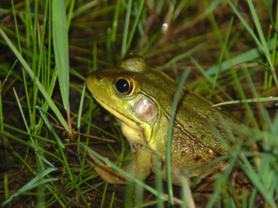 Green Frog by Lisa Swales