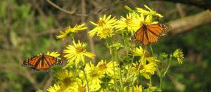 2 monarchs by Nancy Gregor