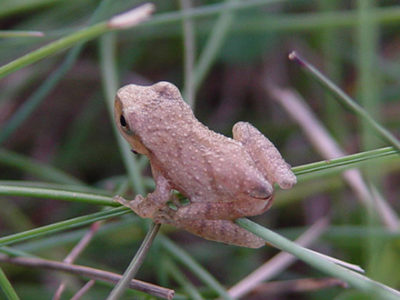 Spring peeper on grass