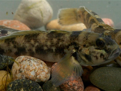 R Goby fish