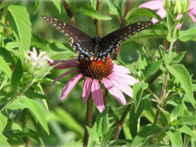 Photo of a Native plant with Butterfly on it