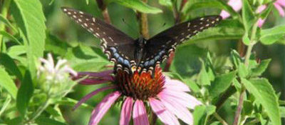 Purple cone flower with a butterfly resting on it