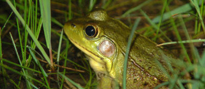 Frog in river vegetation