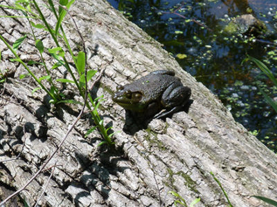Bullfrog on a log