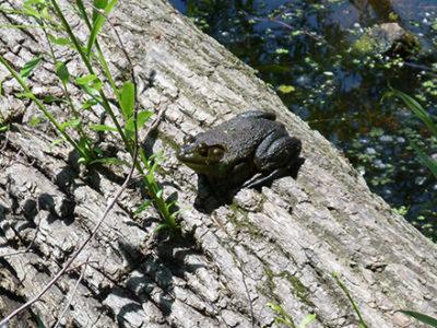 Bullfrog on a log