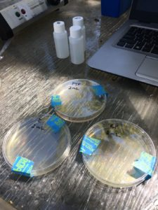 Plating fecal coliform petri dishes