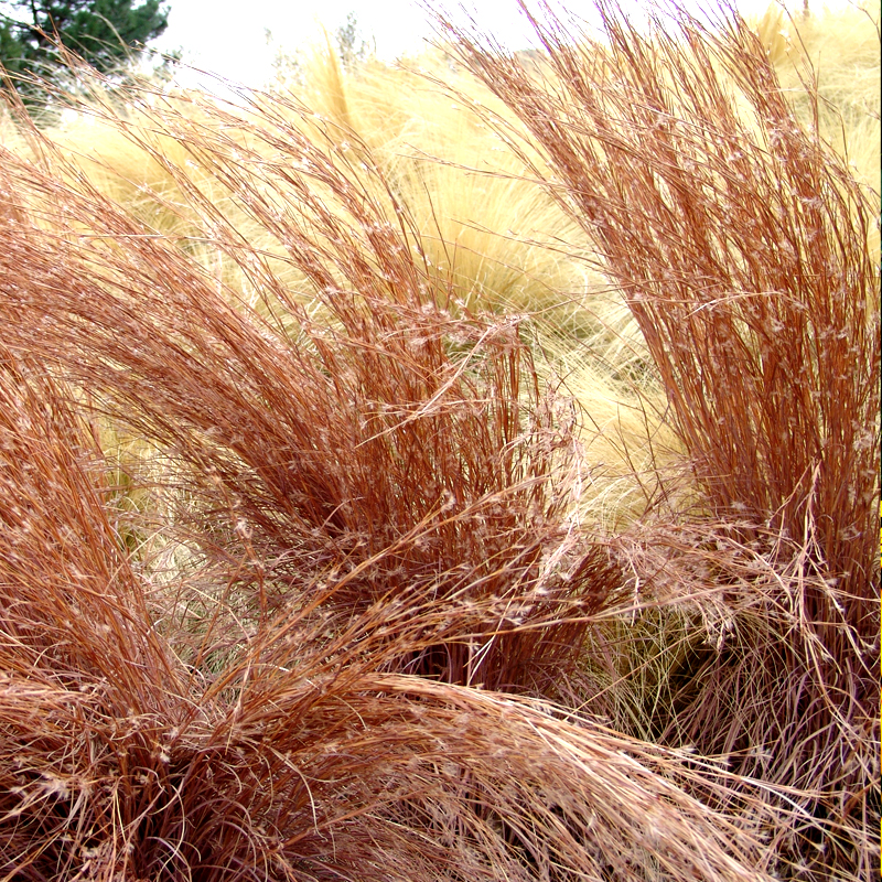 GRASS: Little Bluestem