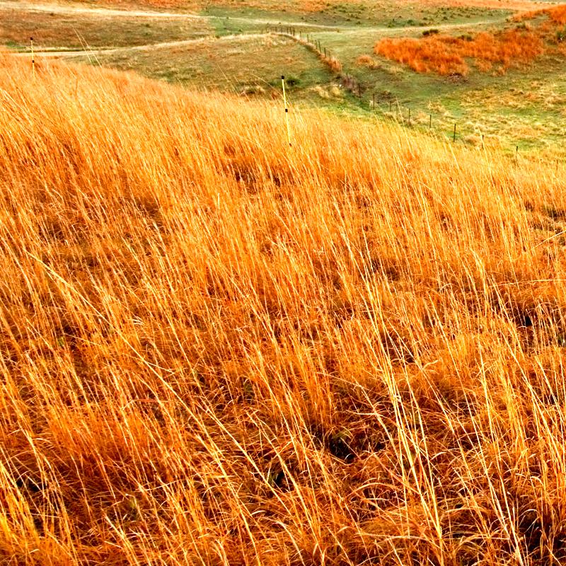 GRASS: Little Bluestem