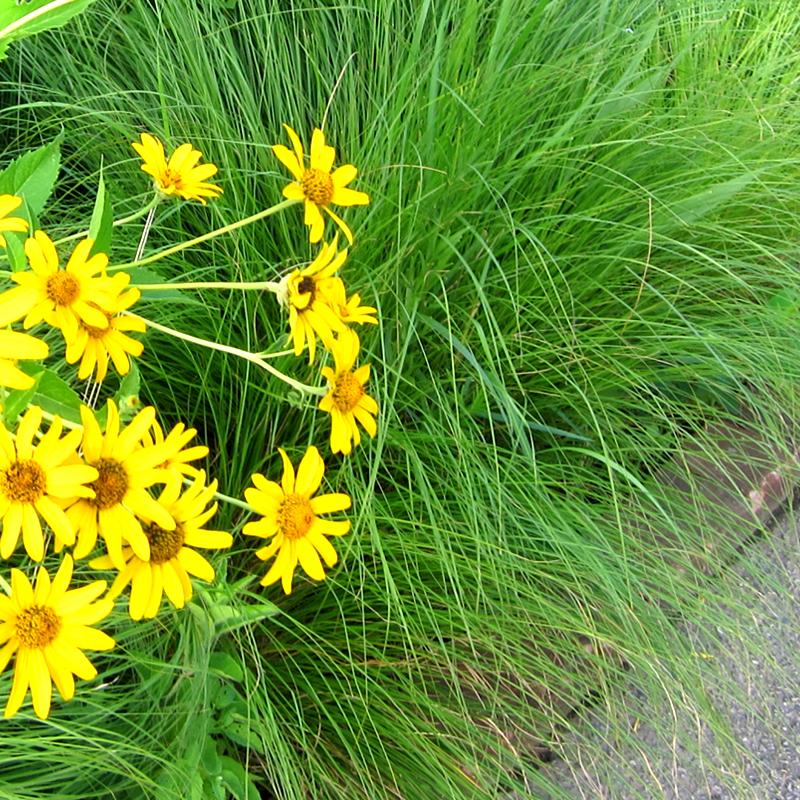 GRASS: Prairie Dropseed (3 pack)