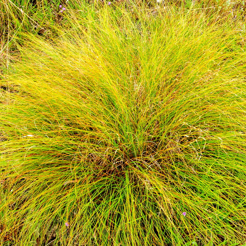 GRASS: Prairie Dropseed