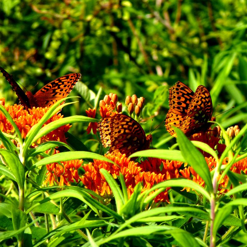 PERENNIAL: Butterfly Milkweed