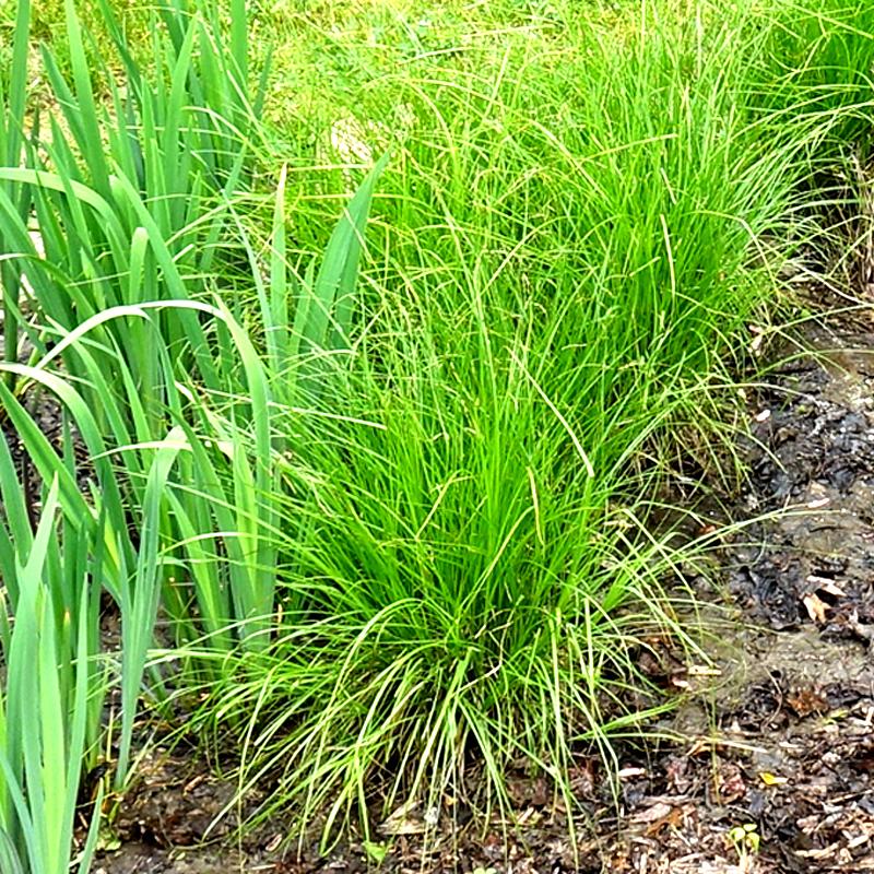 GRASS: Brown Fox Sedge