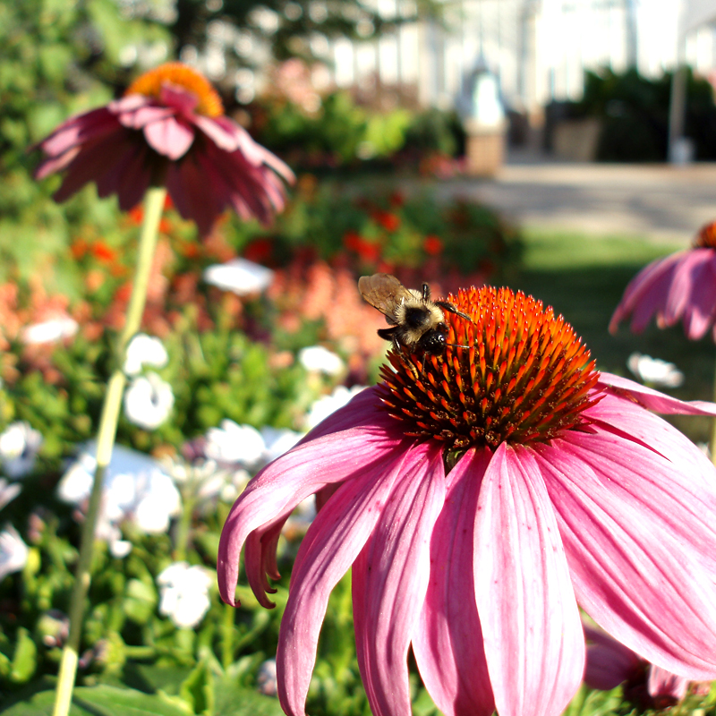 PERENNIAL: Purple Coneflower