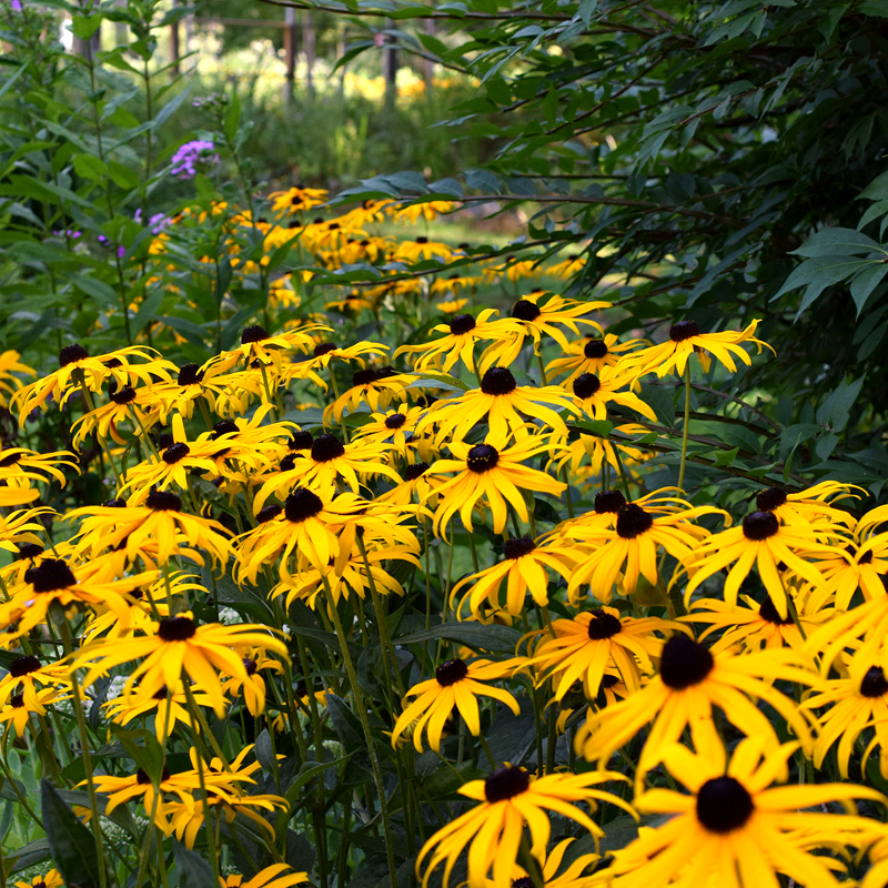 PERENNIAL: Showy Black-Eyed Susan
