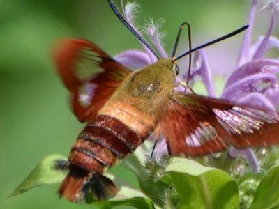 Hummingbird Moth Andy Reago & Chrissy McClarren