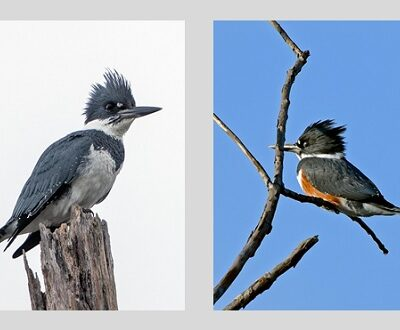 Male & Female Belted Kingfisher