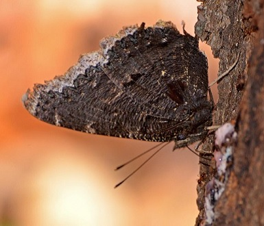 Mourning cloak with wings folded