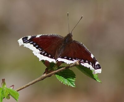 Mourning cloak butterfly on branch