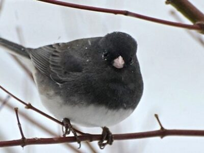 Male Dark-eyed junco