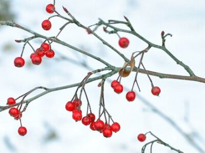 Winterberry shrub by David Guthrie CC-BY-SA-2.0