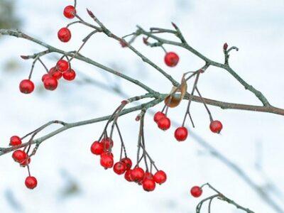 Winterberry shrub by David Guthrie CC-BY-SA-2.0