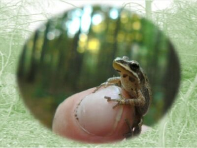 Midland chorus frog on a finger