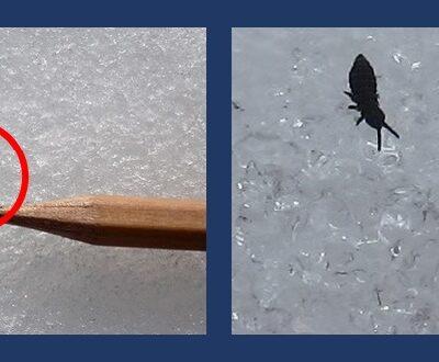 Close-up of snow flea on ice