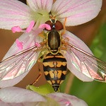 Syphid bee fly on spring beauty photo by Judy Gallagher CC-BY-2.0