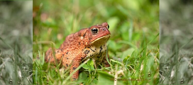 American Toad on grass