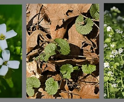 Garlic Mustard flower, leaves, tall plants
