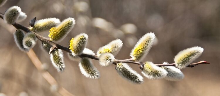 American pussy willow branch