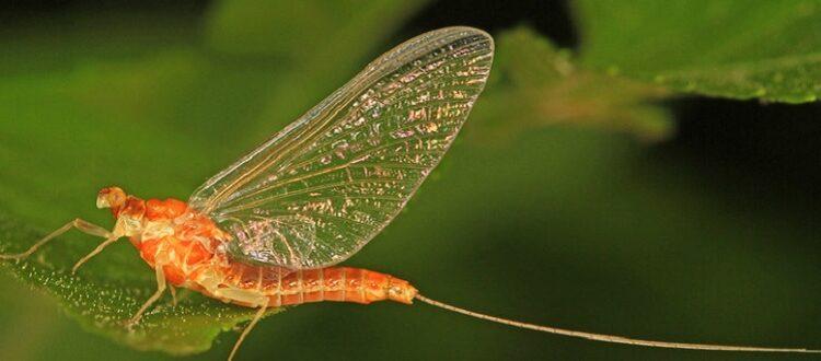 Adult flathead mayfly