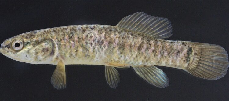Central mudminnow - by Robert Muller