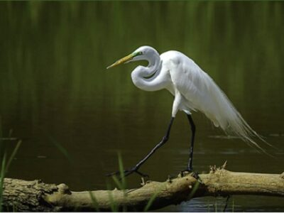 Adult great egret with breeding feathers