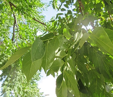 Kentucjy coffee tree leaves