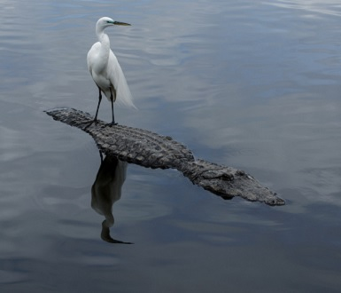 Great egret standing on the back of a crocodile
