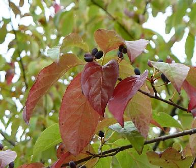 Blackgum leaves and fruit