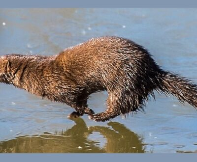 American Mink running at water's edge