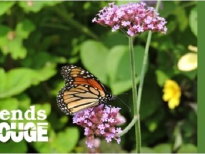 Monarch feeding on flower