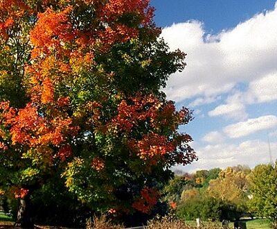 Sugar Maple colors in fall